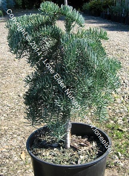 Weeping Noble Fir