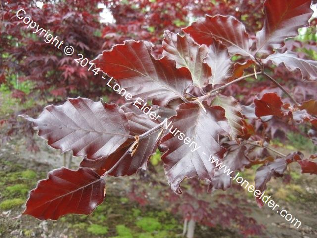 Red Obelisk European Beech
