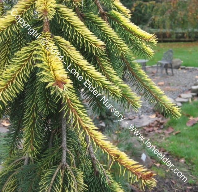 Gold Drift Norway Spruce
