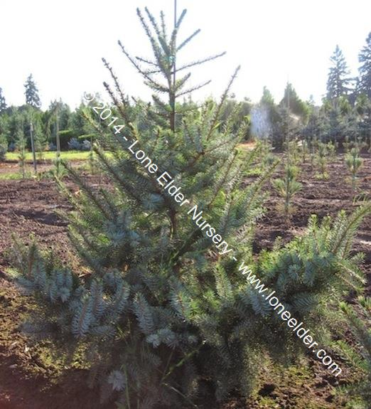 Weeping Siberian Spruce