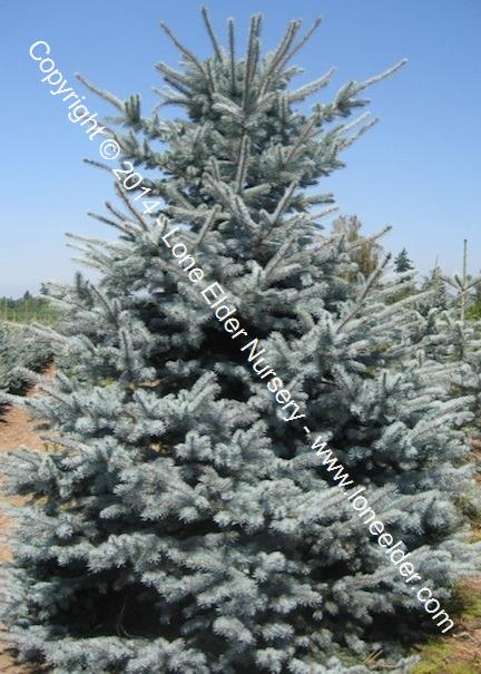 Continental Colorado Spruce