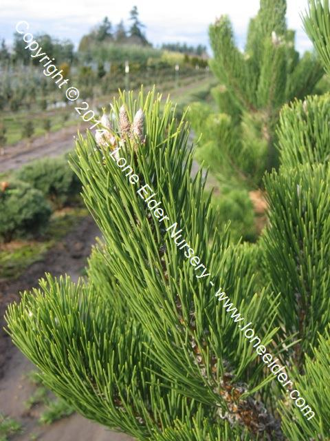Oregon Green Black (Austrian) Pine