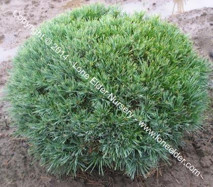 Horsford Dwarf Eastern White Pine
