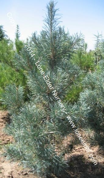 Blue Scotch Pine