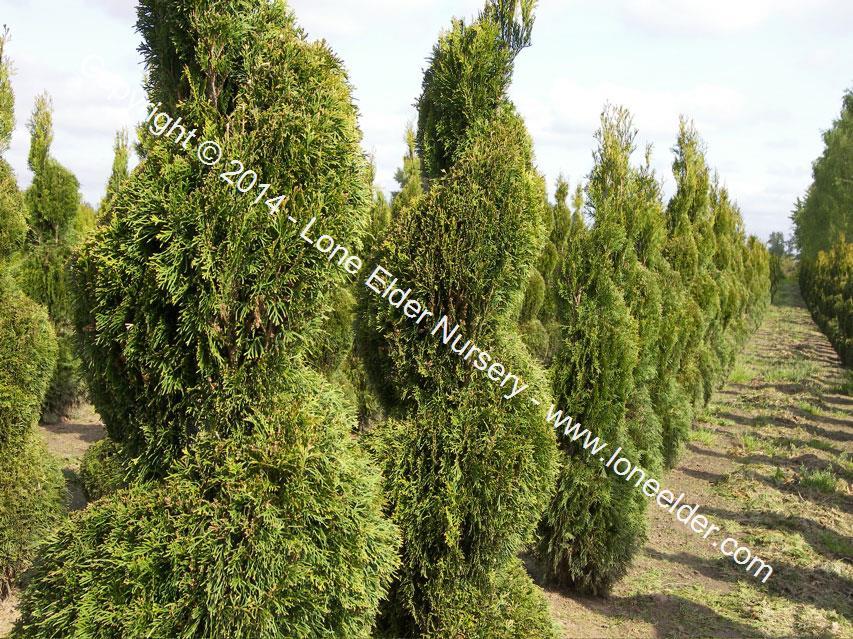 Occidentalis smaragd lone elder nursery llc - Thuja smaragd growth rate ...