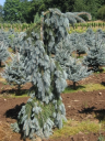 The Blues Blue Spruce