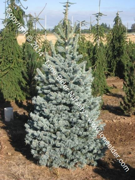 Abies Lasiocarpa Arizonica Glauca Compacta Blue Rocky Mountain Fir