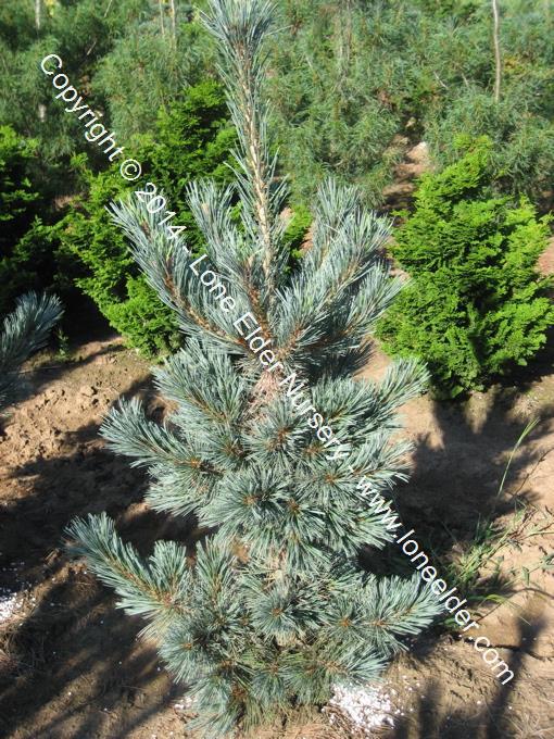 Extra Blue Limber Pine